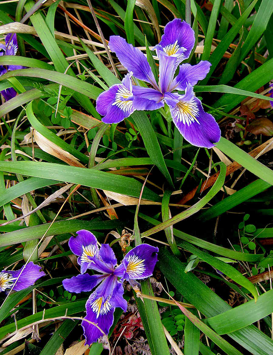 Douglas Iris in Port Orford, Oregon