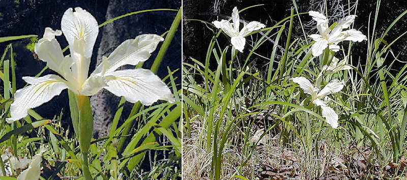 Iris purdyi flower and plant